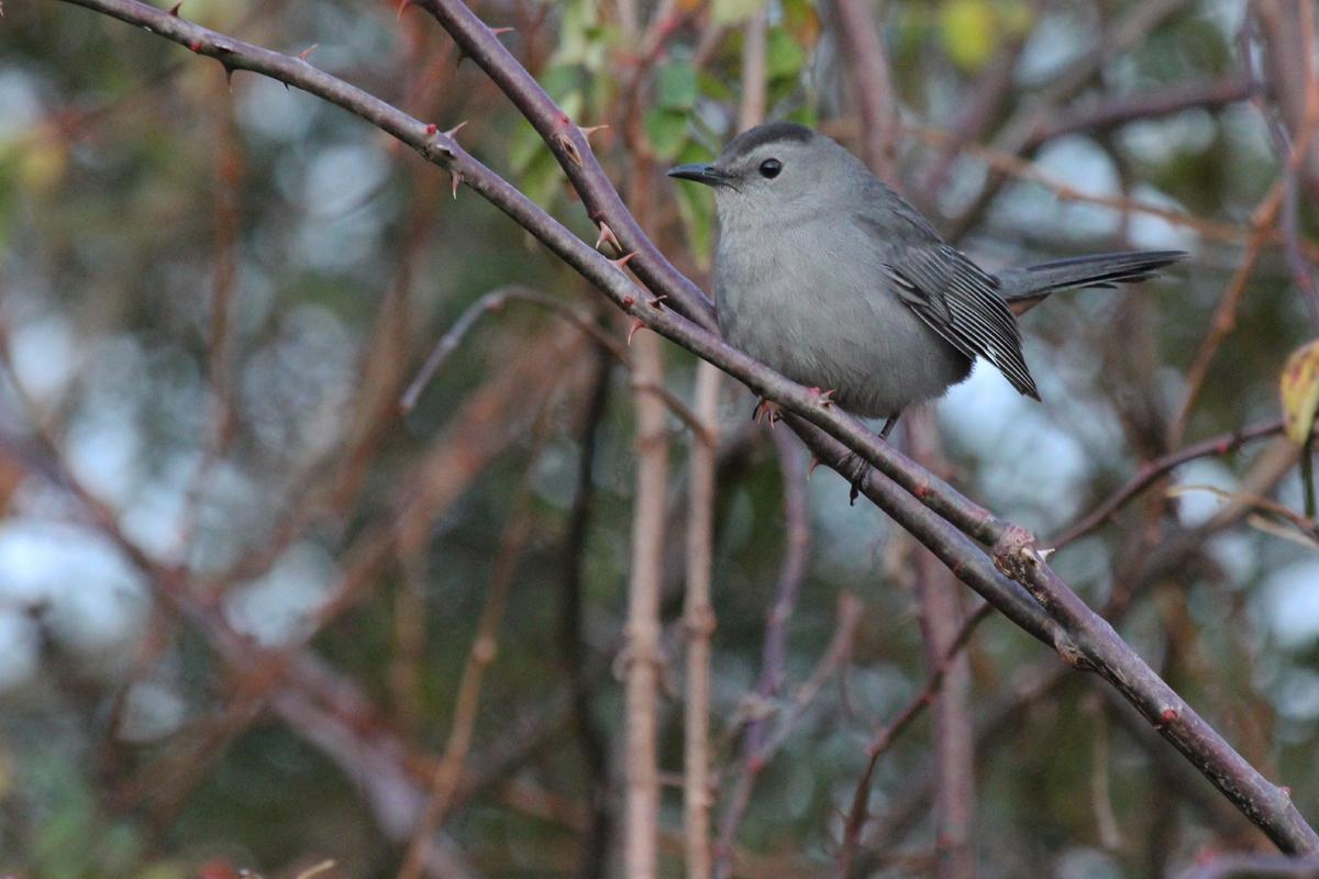 Gray Catbird / 29 Dec / Munden Rd.