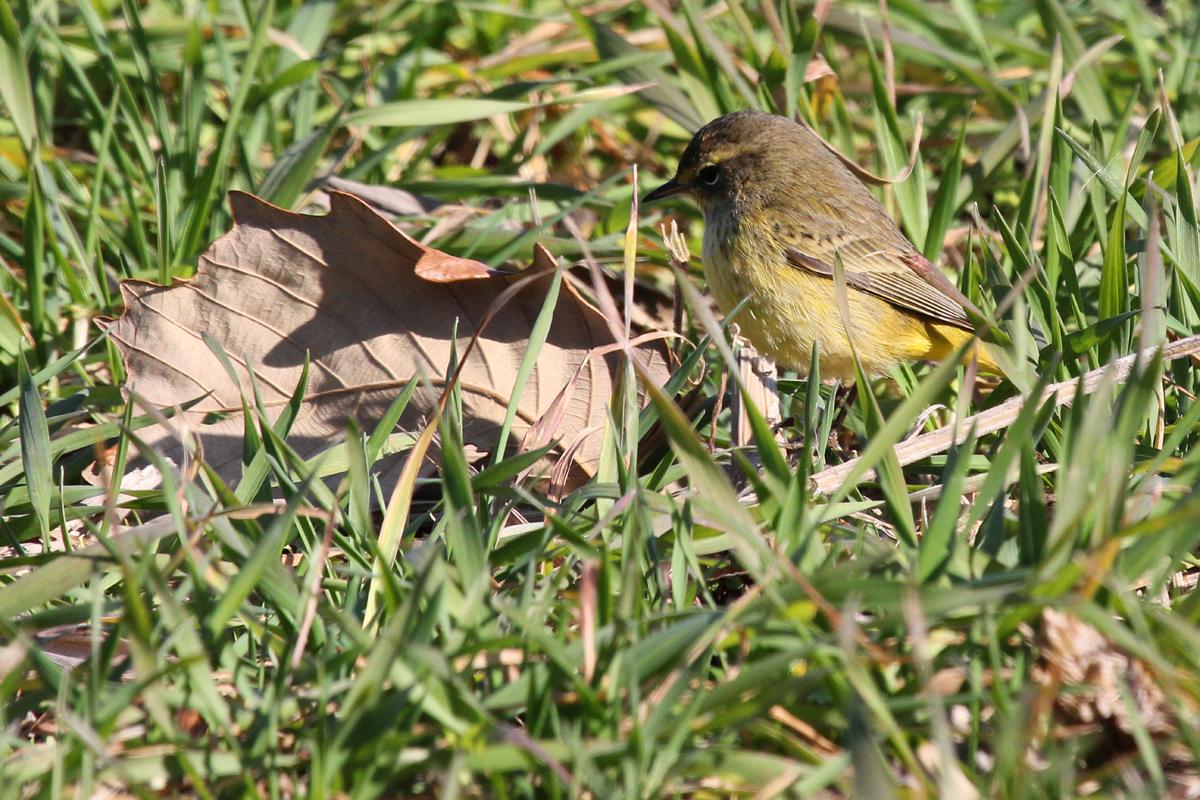 Palm Warbler (Yellow) / 29 Dec