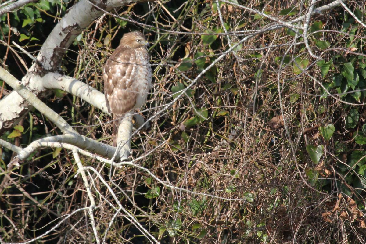 Red-shouldered Hawk / 29 Dec / Drum Point Rd.