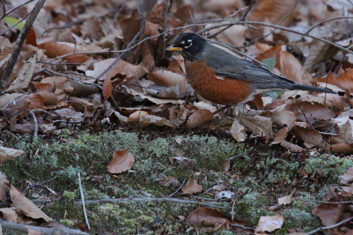 American Robin / 29 Dec / Pungo Ridge Ct.