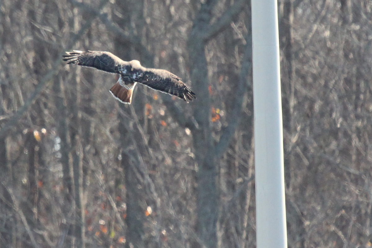 Red-tailed Hawk / 29 Dec / Williams Farm Rd.