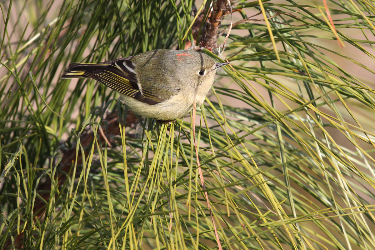 Ruby-crowned Kinglet / 31 Dec / Princess Anne WMA Whitehurst Tract