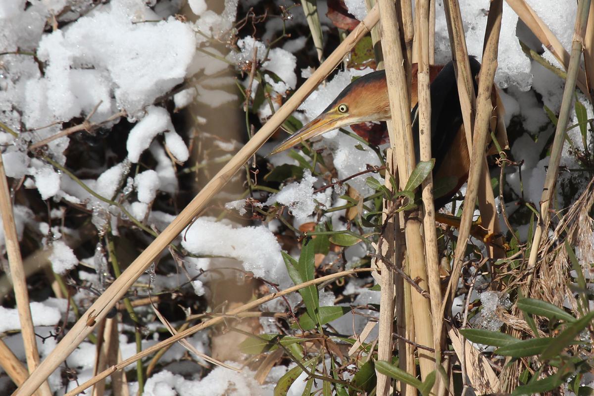 Least Bittern / 6 Jan / Little Island Park