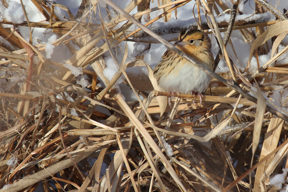 LeConte's Sparrow / 7 Jan / Princess Anne WMA Beasley Tract