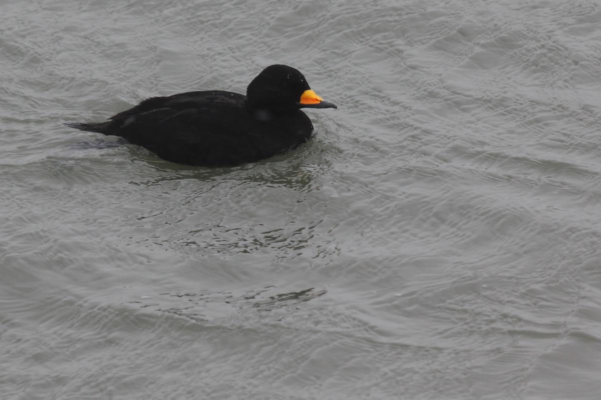 Black Scoter / 4 Jan / Rudee Inlet