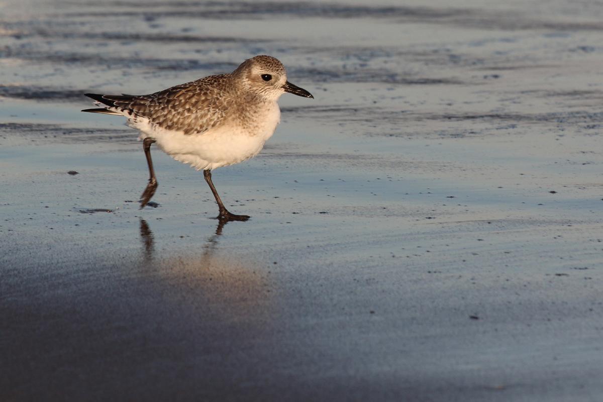 Black-bellied Plover / 5 Jan / 57th Street Beach