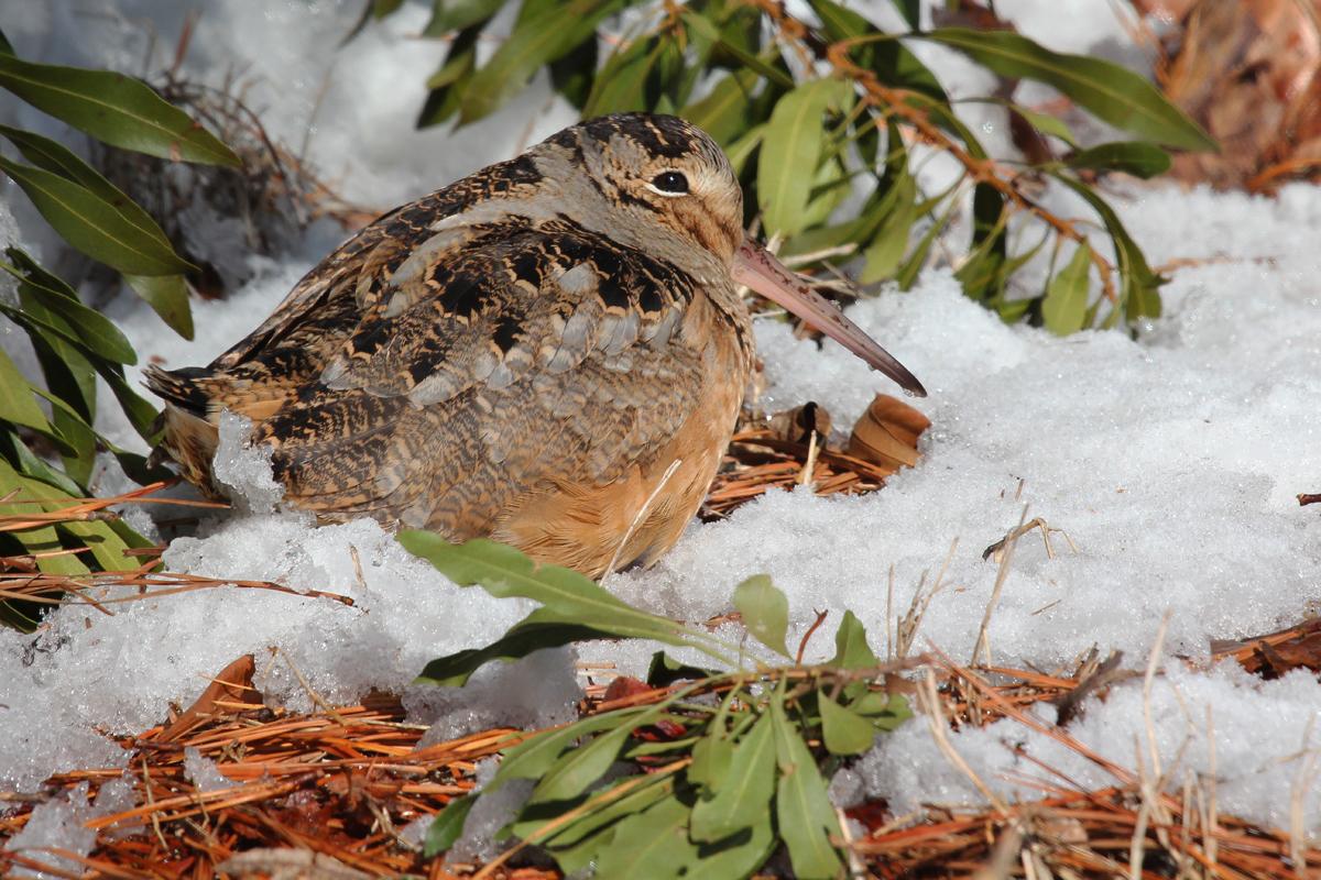 American Woodcock / 6 Jan / North Muddy Creek Rd.