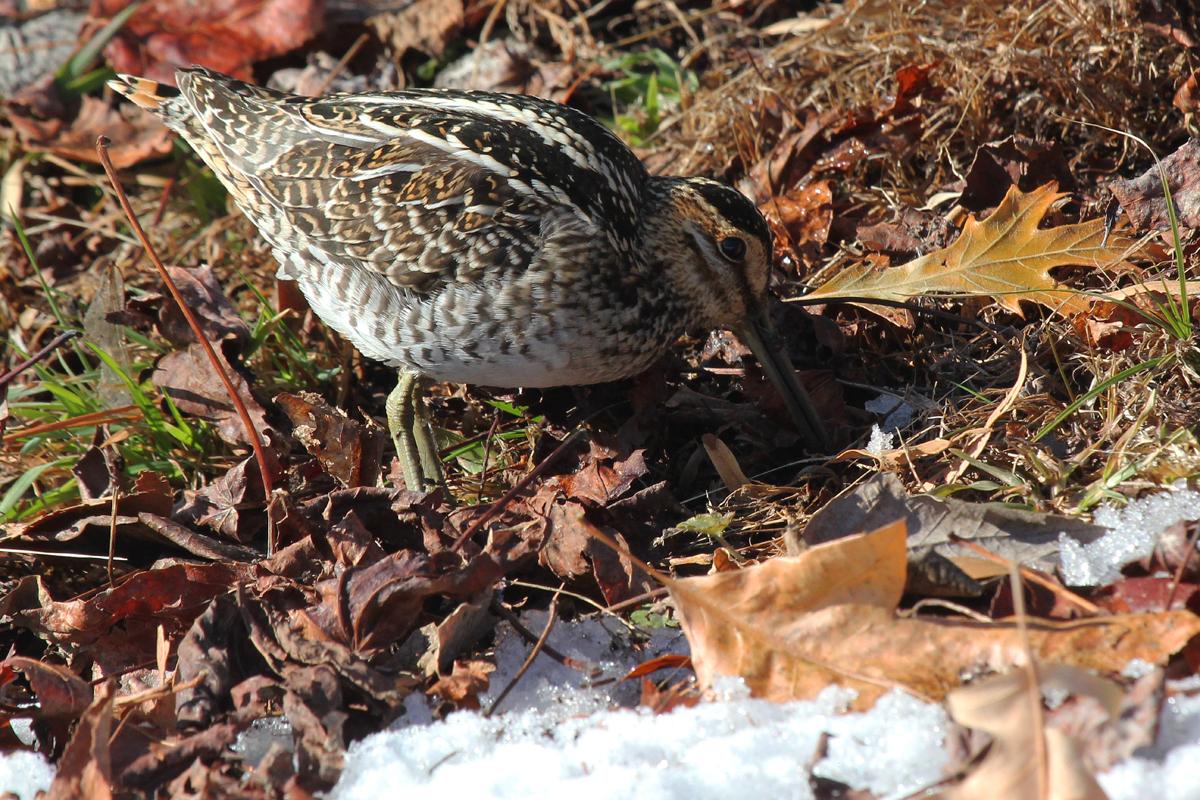 Wilson's Snipe / 6 Jan / Back Bay Landing Rd.