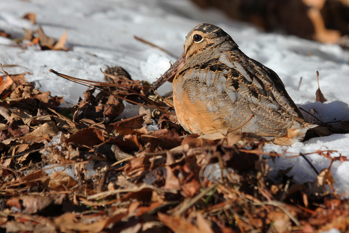 American Woodcock / 6 Jan / Back Bay Landing Rd.