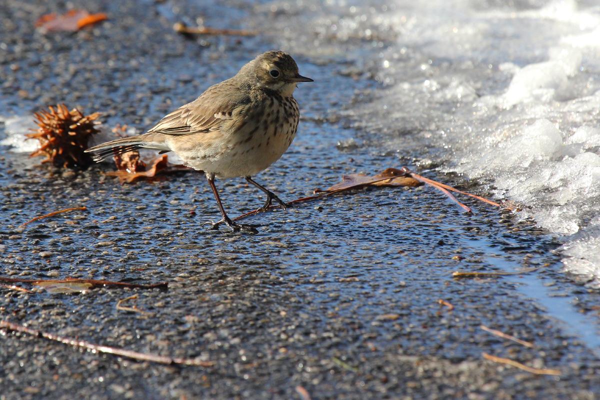 American Pipit / 6 Jan / Back Bay Landing Rd.