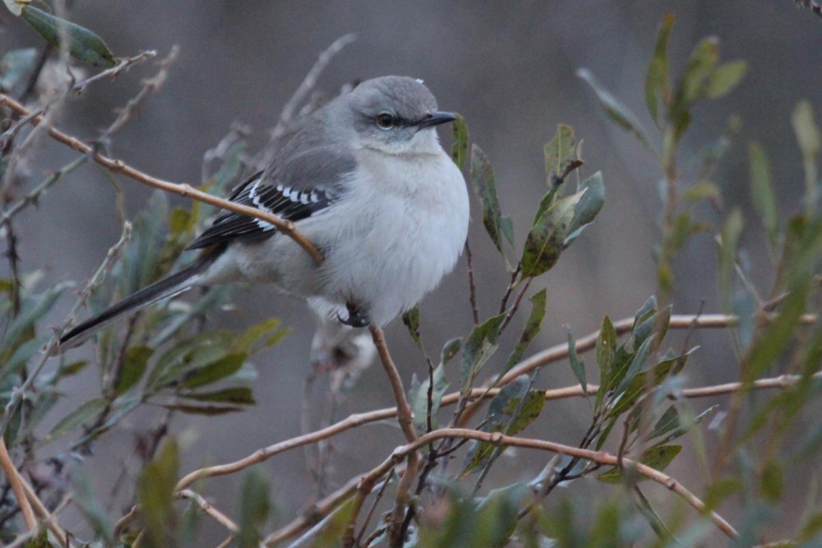 Northern Mockingbird / 1 Jan / Back Bay NWR