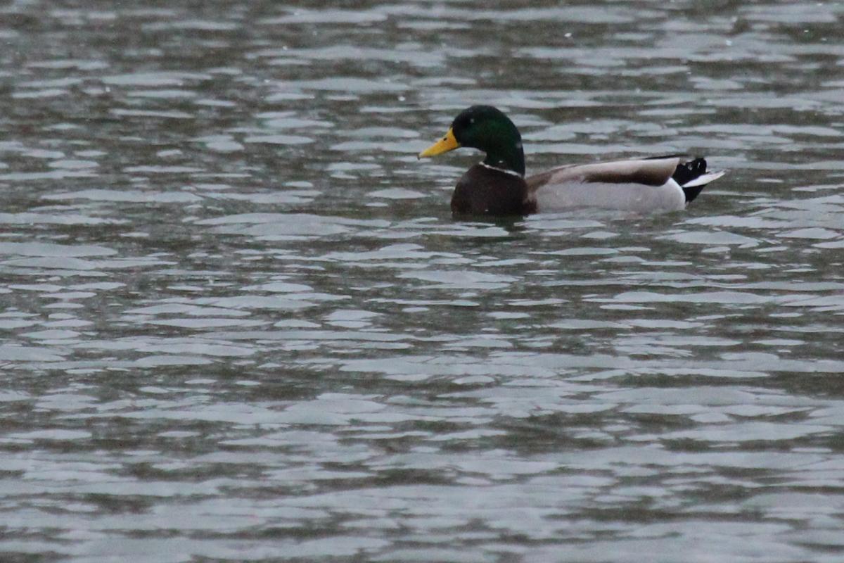 Mallard / 1 Jan / Ashville Park