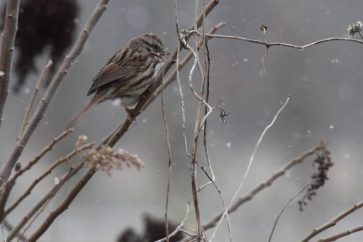 Song Sparrow / 1 Jan / Fitztown Rd.