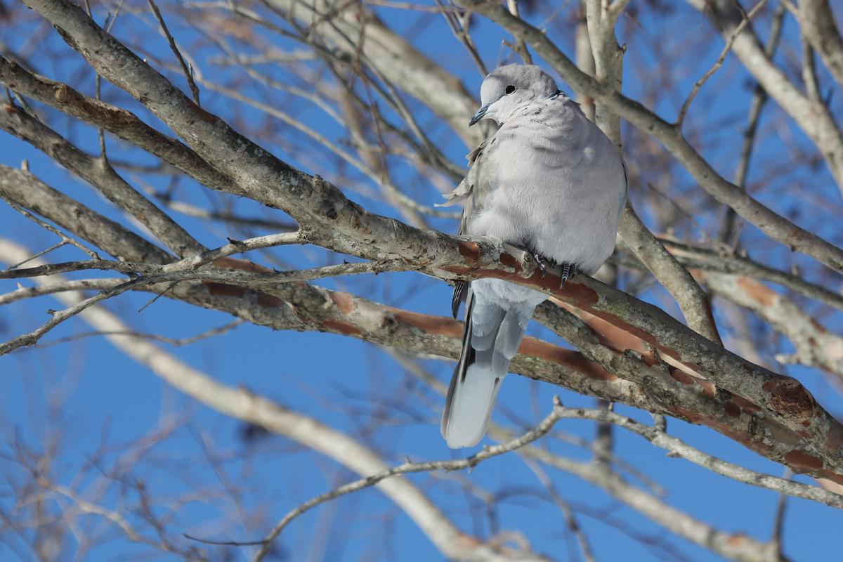 Eurasian Collared-Dove / 6 Jan / Sandbridge