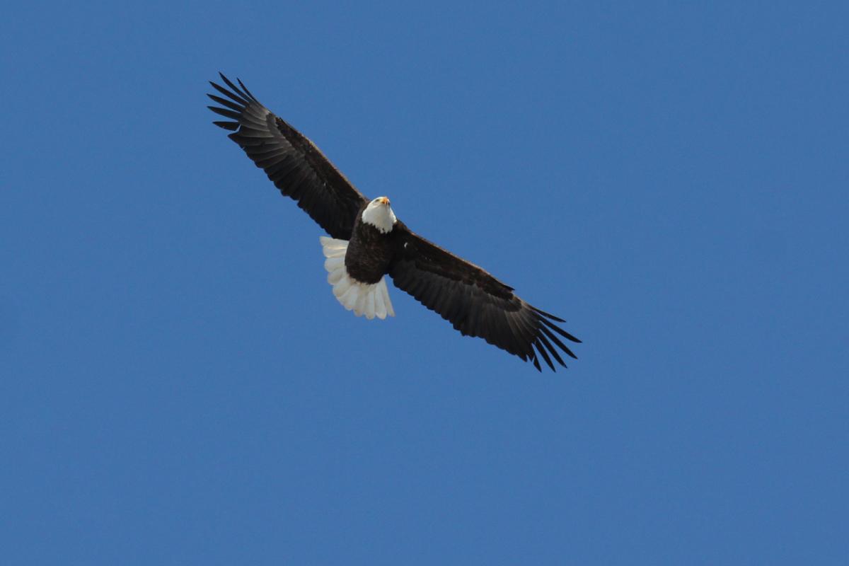 Bald Eagle / 6 Jan / North Muddy Creek Rd.