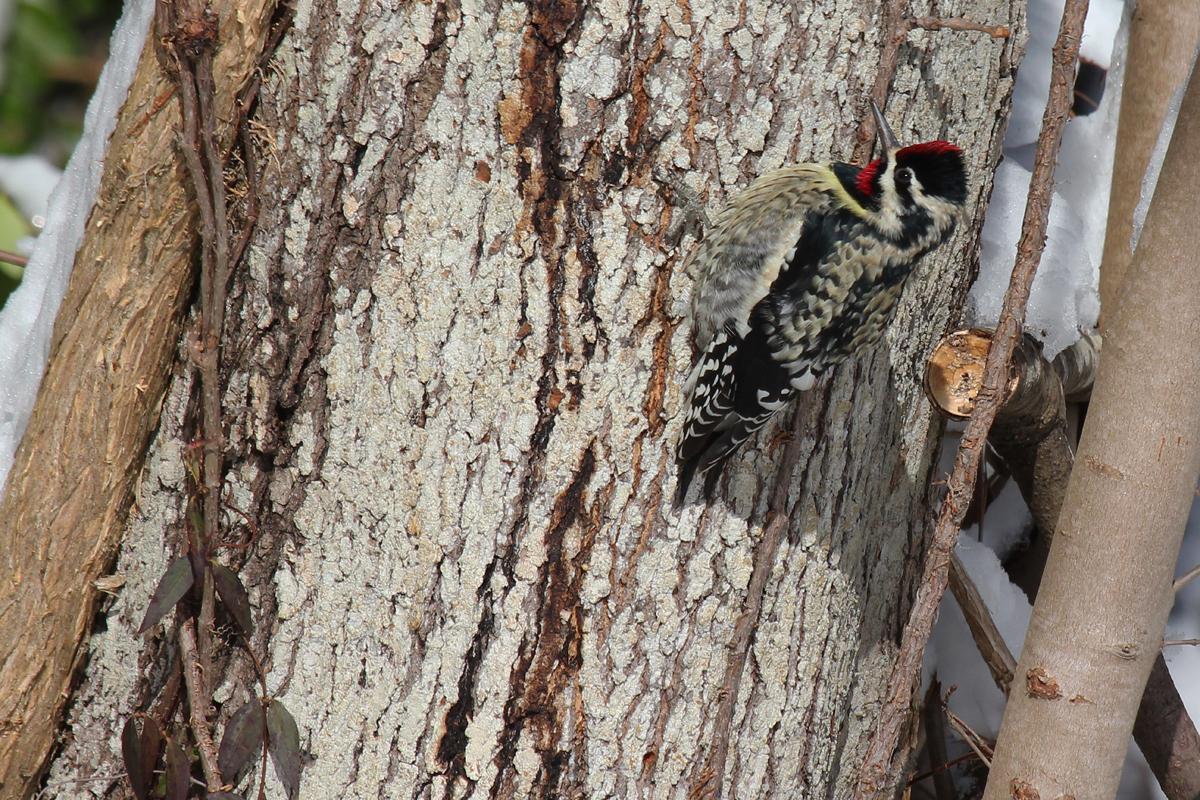 Yellow-bellied Sapsucker / 6 Jan / North Muddy Creek Rd.