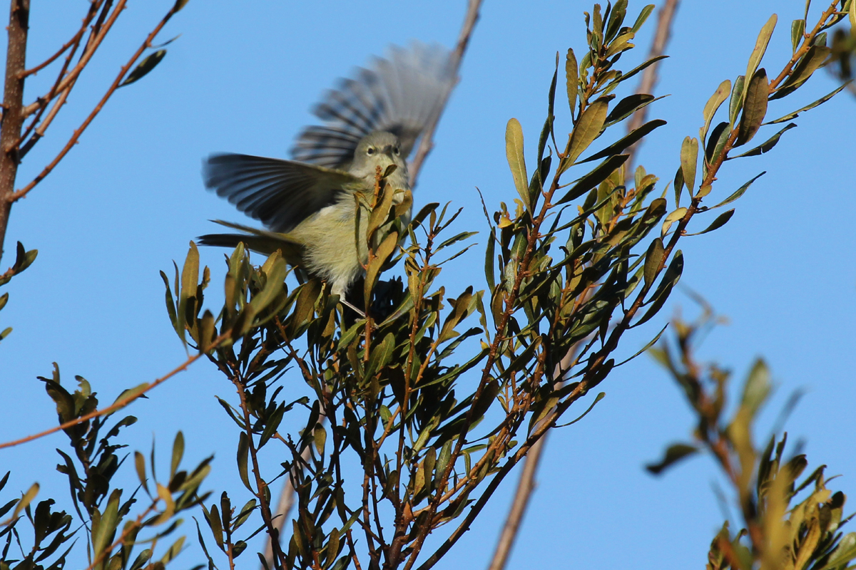 Orange-crowned Warbler / 6 Jan / Munden Rd.
