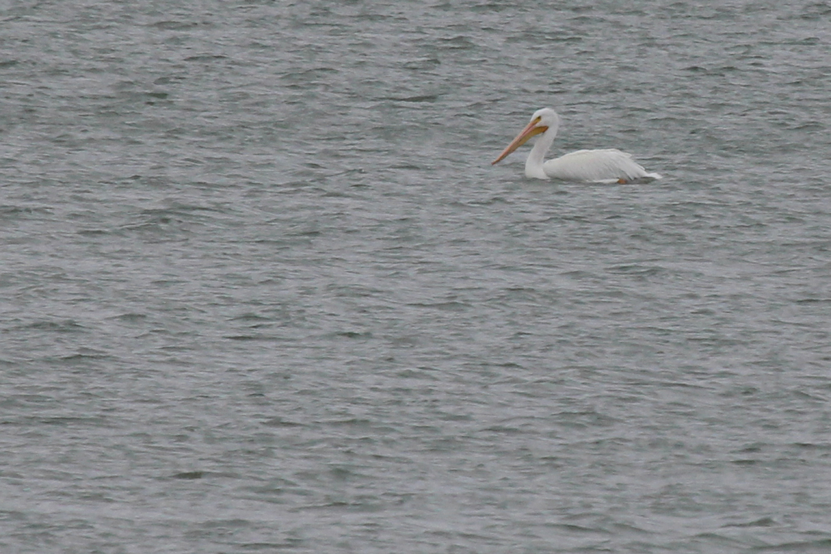 American White Pelican / 12 Jan / Sherwood Lakes