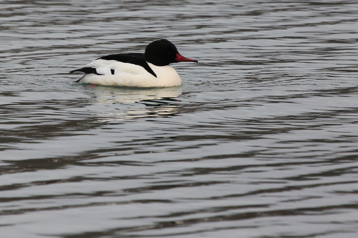 Common Merganser / 12 Jan / Sherwood Lakes