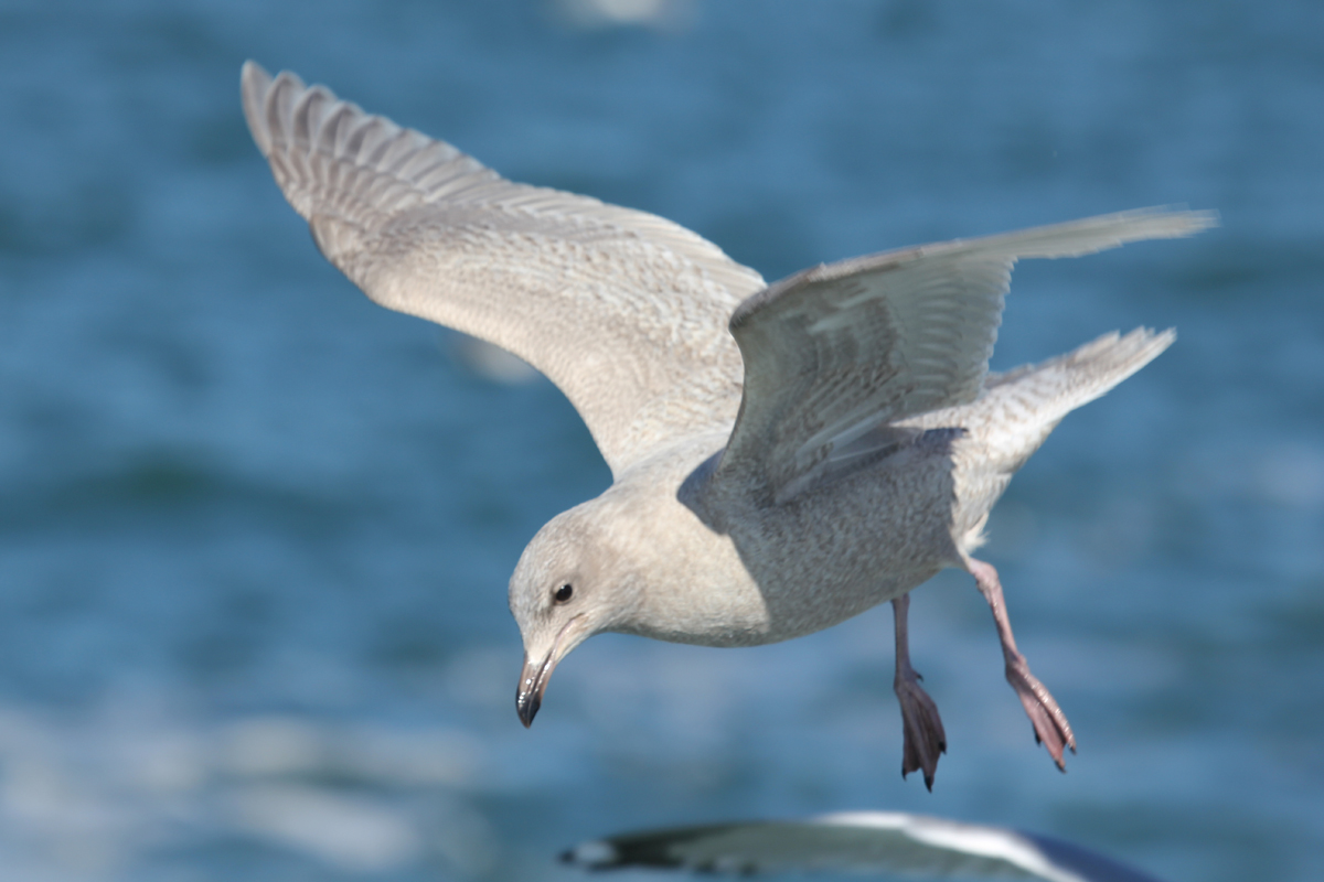 Iceland Gull / 20 Jan / Chesapeake Bay Mouth