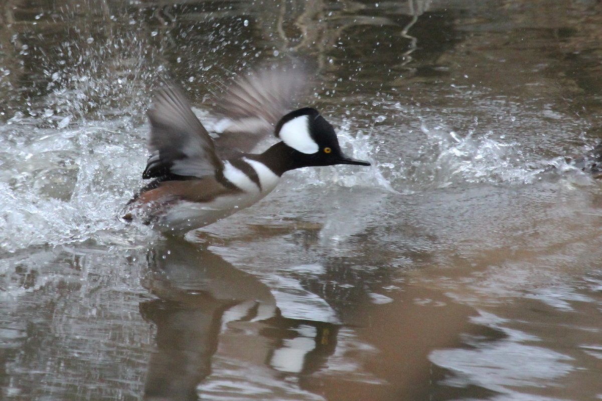 Hooded Merganser / 15 Jan / Pine Tree Branch