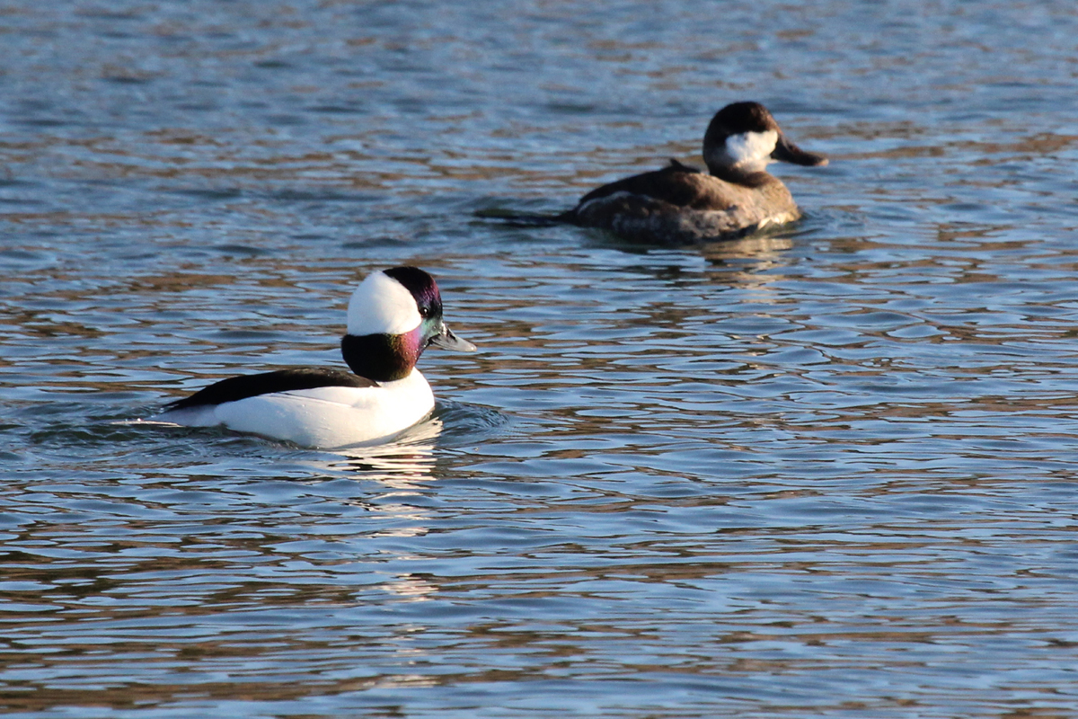Bufflehead & Ruddy Duck / 20 Jan / Pleasure House Point NA