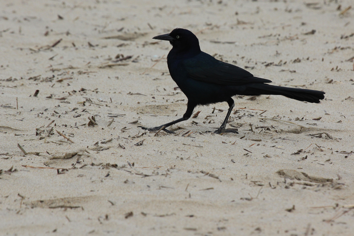 Boat-tailed Grackle / 16 Jan / Rudee Inlet