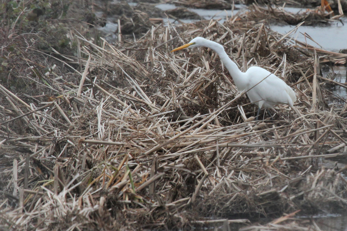 Great Egret / 17 Jan / Firefall Dr.