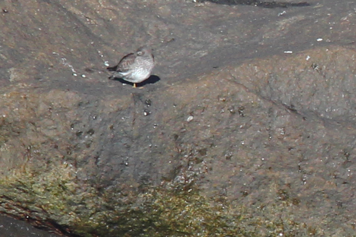 Purple Sandpiper / 20 Jan / North Thimble Island