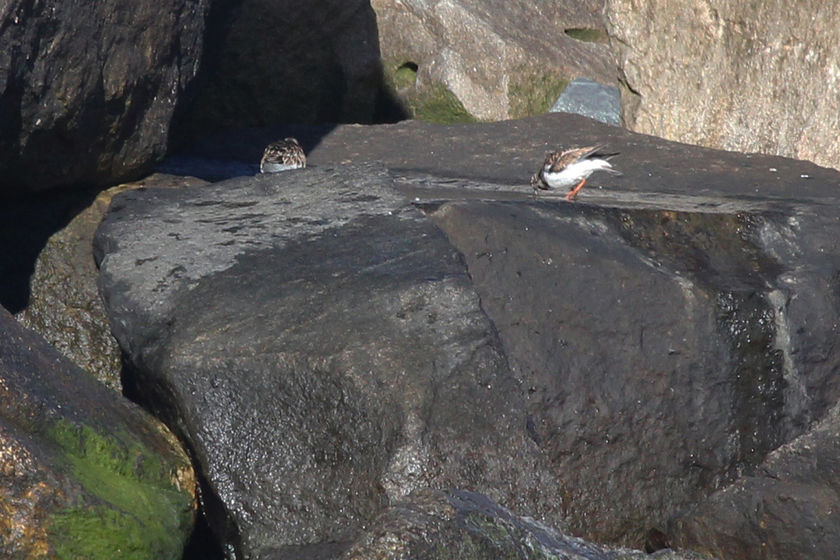 Ruddy Turnstones / 20 Jan / North THimble Island