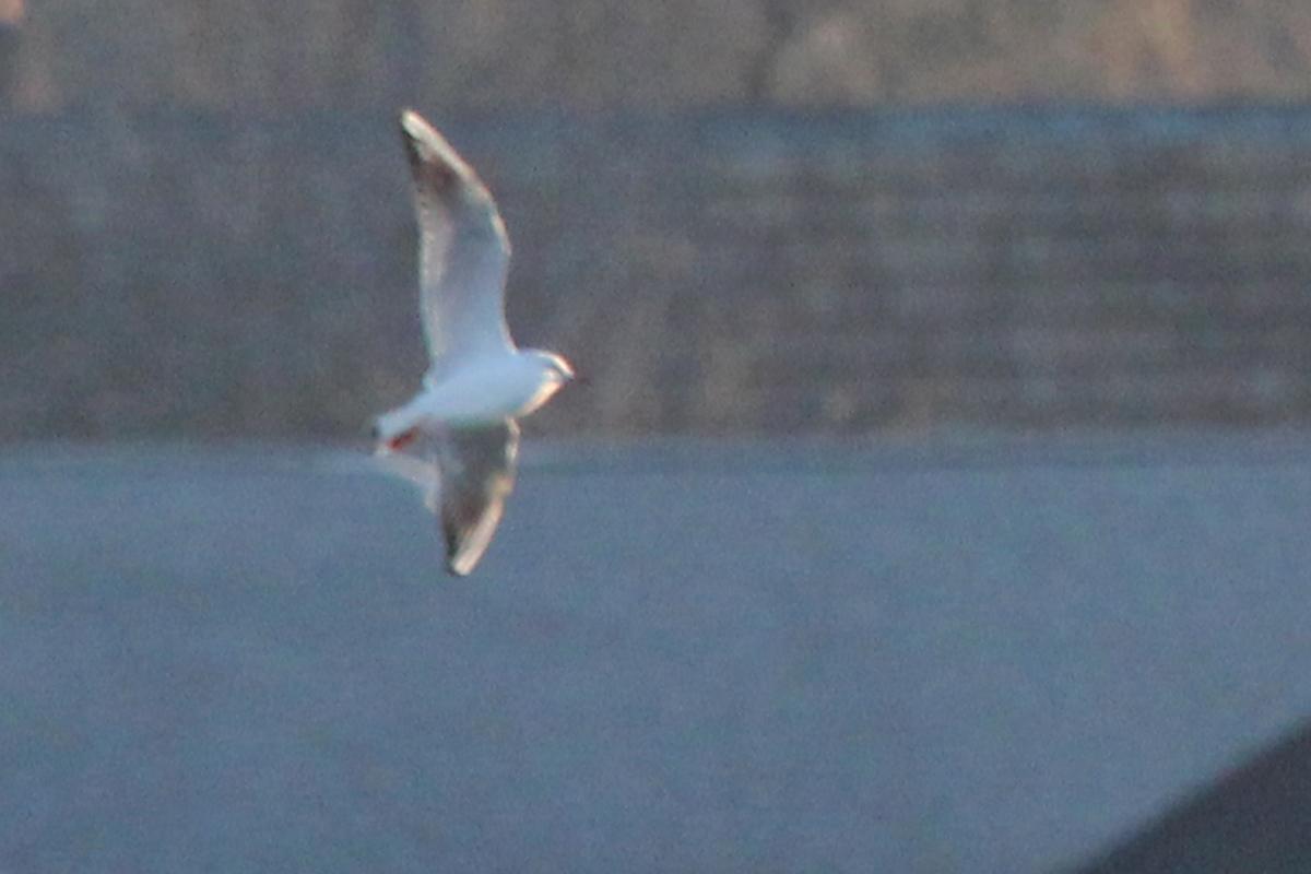Black-headed Gull / 2 Feb / Rudee Inlet