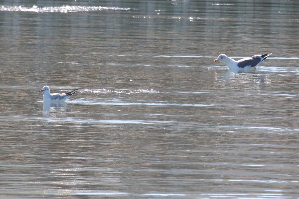 Black-headed Gull & Lesser Black-backed Gull / 2 Feb / Rudee Inlet