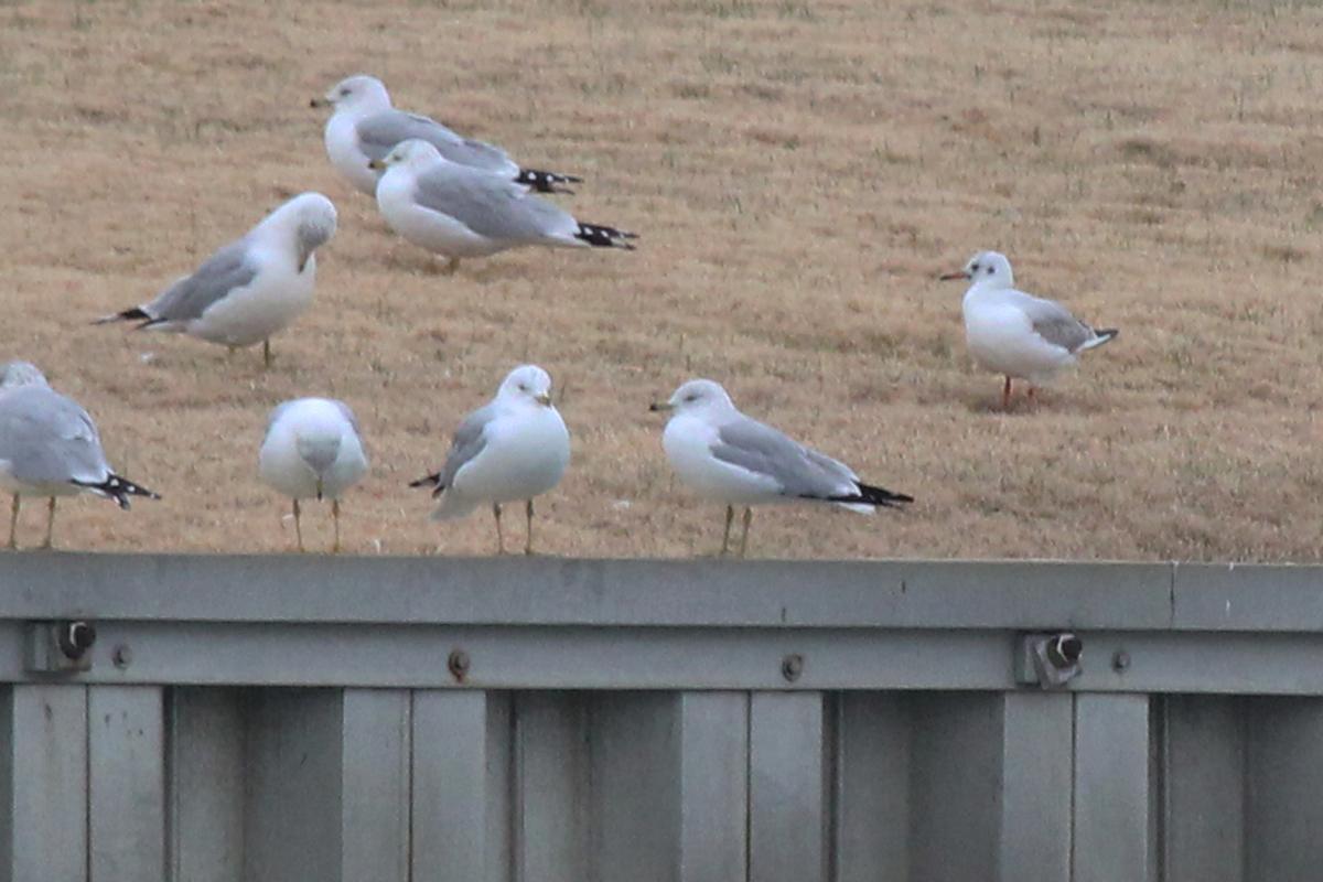 Ring-billed Gulls & Black-headed Gull / 2 Feb / Rudee Inlet
