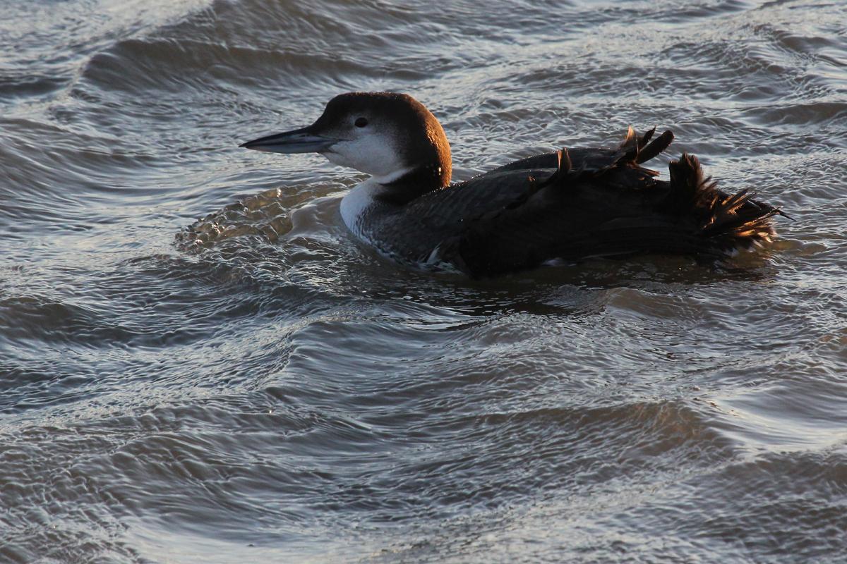 Common Loon / 2 Feb / Rudee Inlet