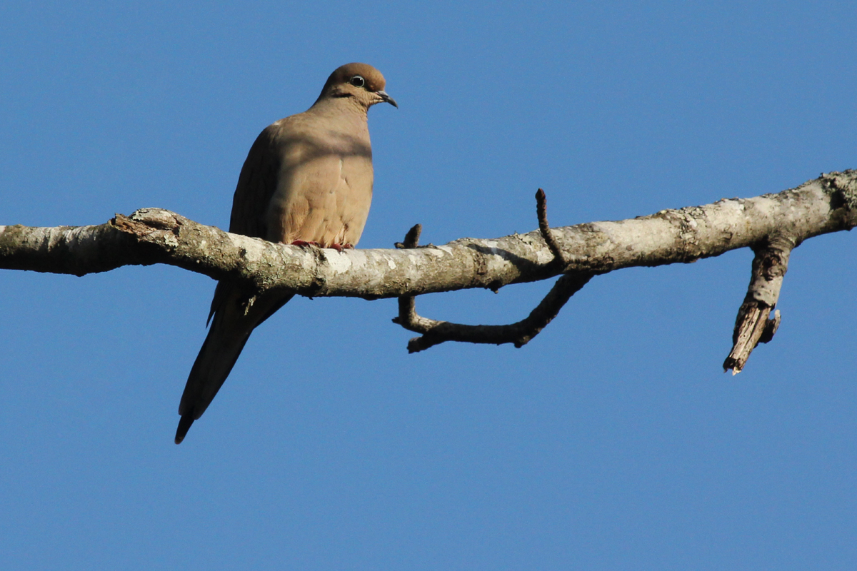 Mourning Dove / 4 Feb / First Landing SP