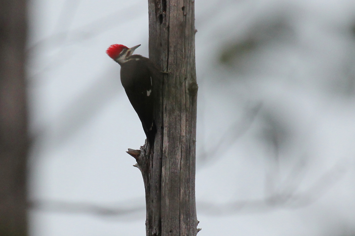 Pileated Woodpecker / 4 Feb / First Landing SP