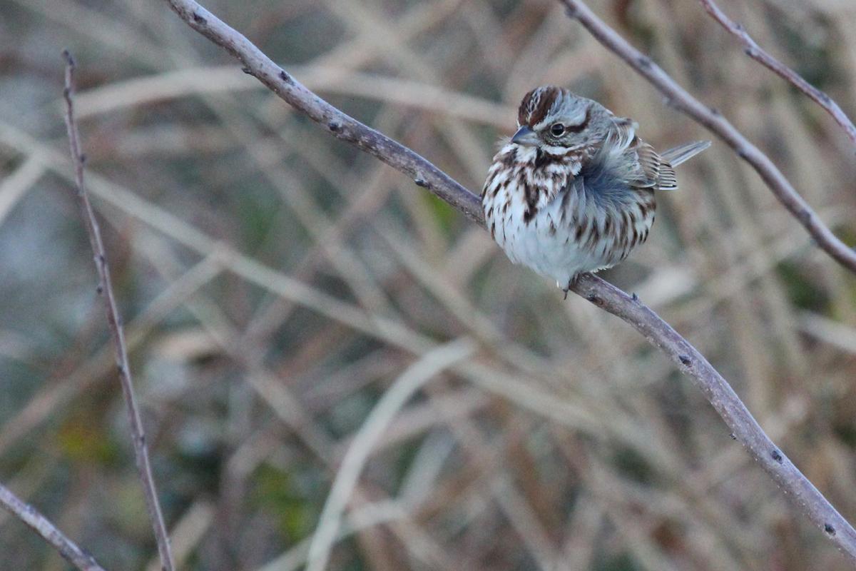 Song Sparrow / 3 Feb / Back Bay NWR