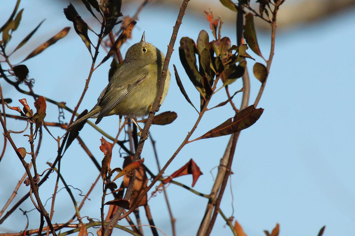 Orange-crowned Warbler / 3 Feb / Little Island Park
