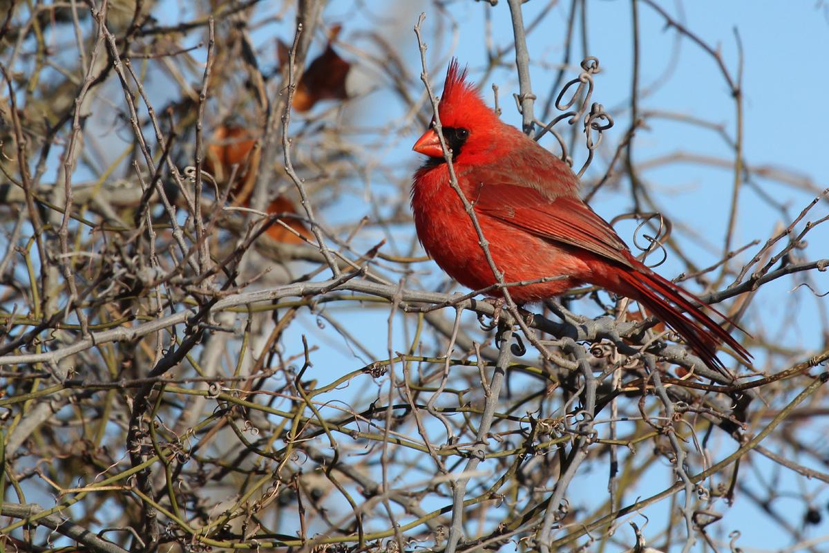 Northern Cardinal / 3 Feb / Little Island Park