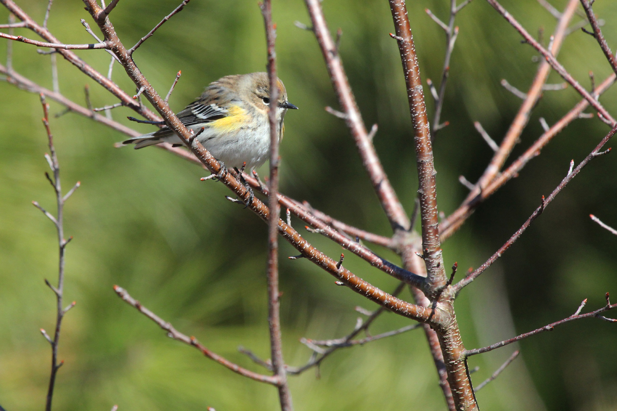 Yellow-rumped Warbler / 3 Feb / Pleasure House Point NA