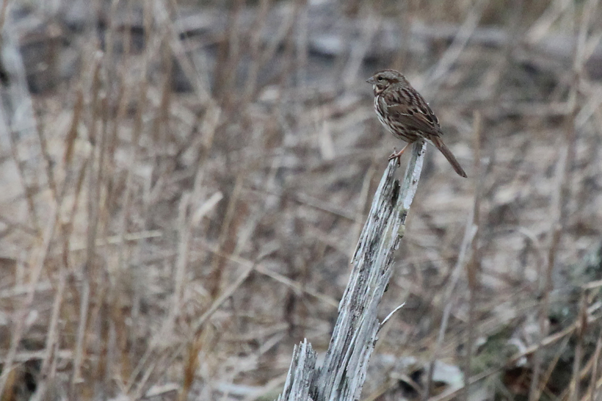 Song Sparrow / 4 Feb / First Landing SP