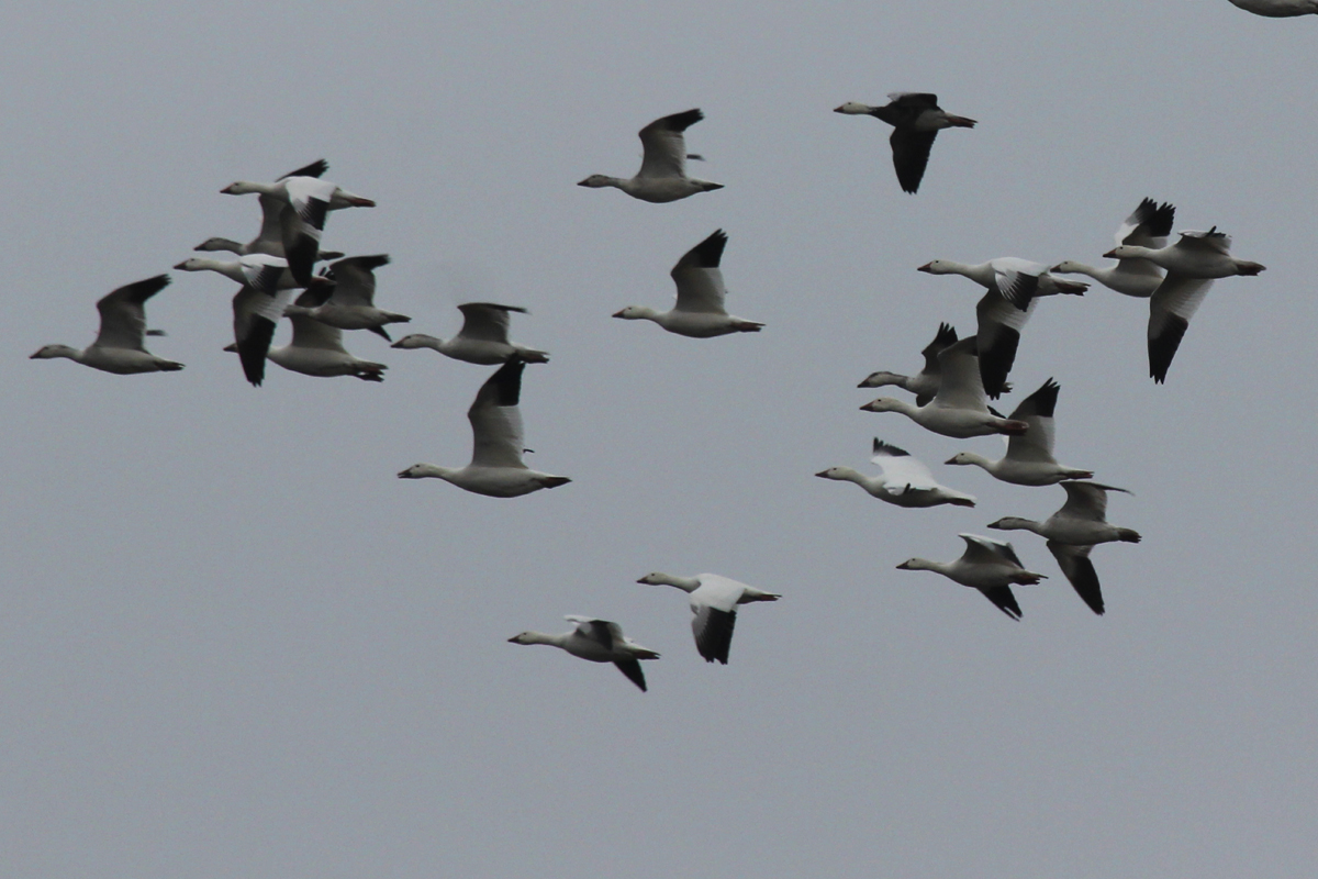 Snow Geese / 11 Feb / Back Bay NWR