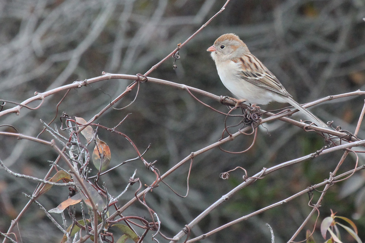 Field Sparrow / 11 Feb / Back Bay NWR