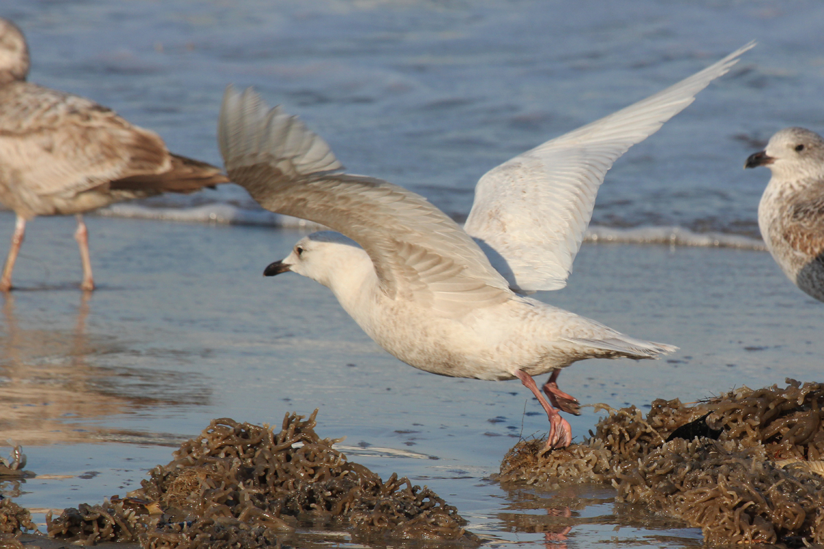 Lesser Black-backed & Iceland Gulls / 15 Mar / North End Beaches