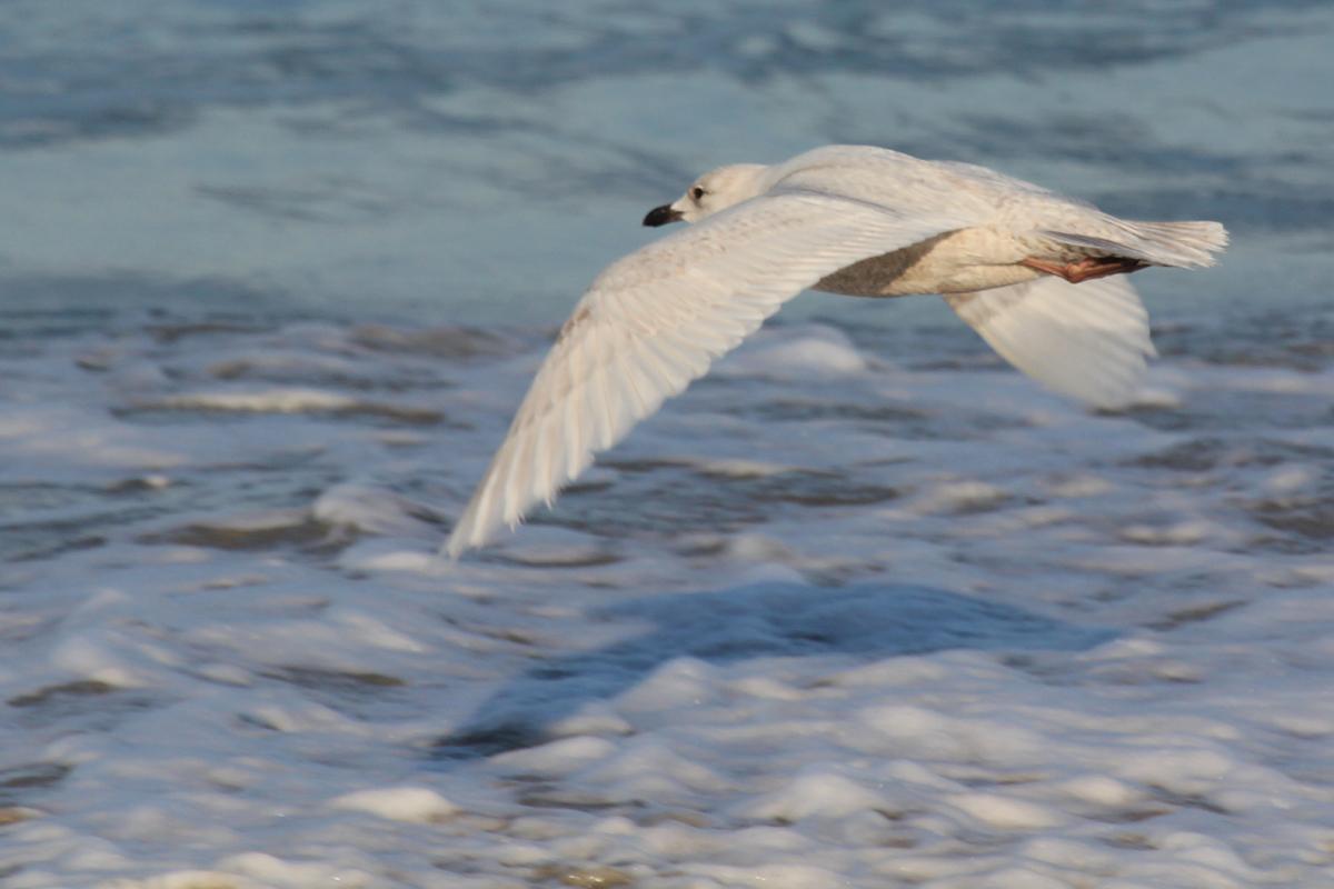 Iceland Gull / 15 Mar / North End Beaches