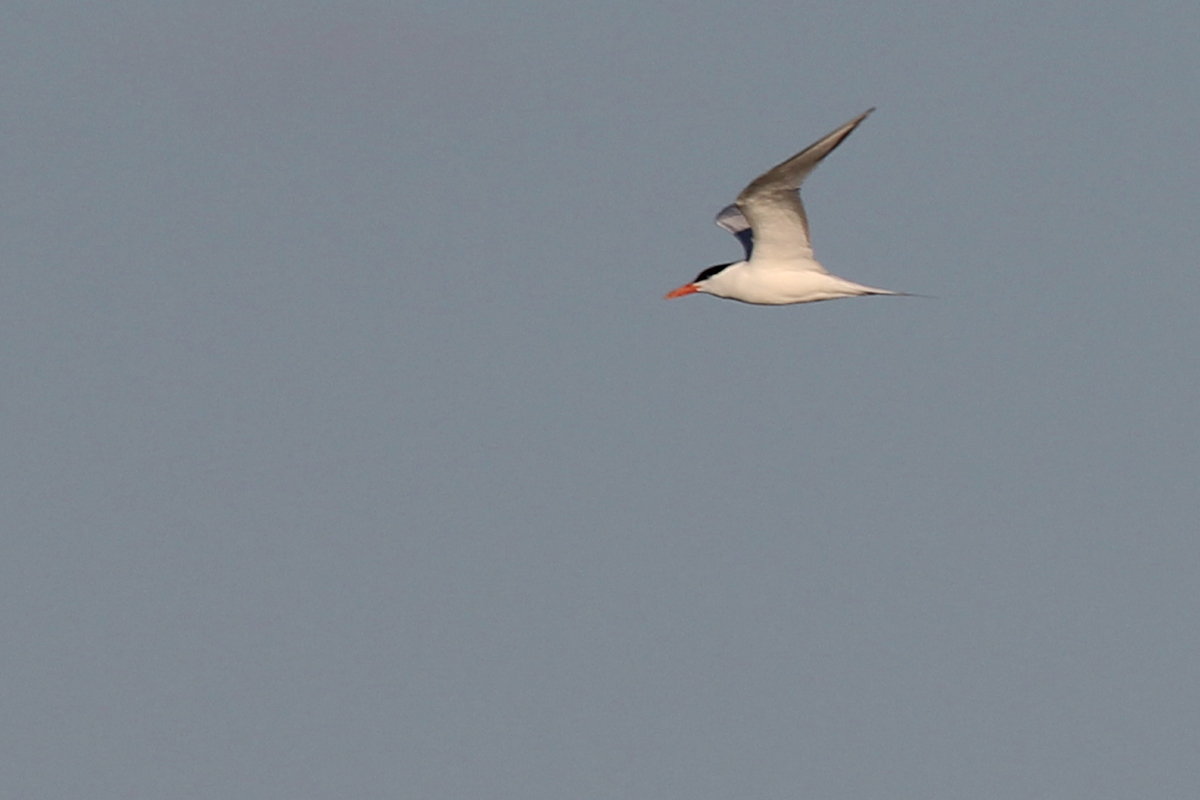 Royal Tern / 15 Mar / North End Beaches
