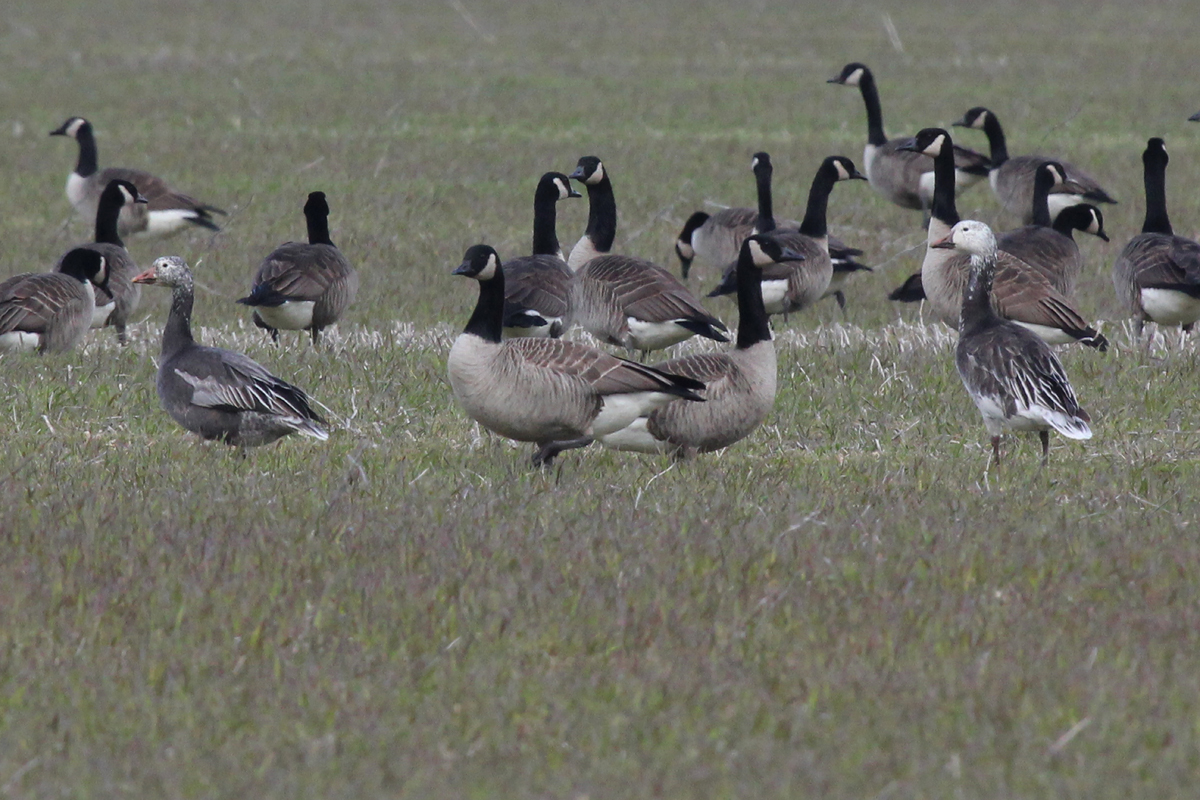 Canada & Snow Geese / 14 Mar / Indian River Rd.