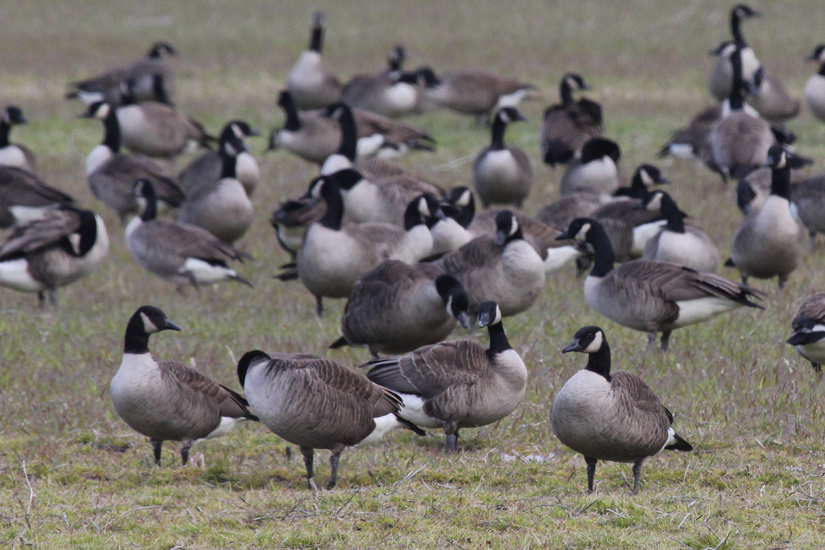 Canada Geese / 14 Mar / Indian River Rd.
