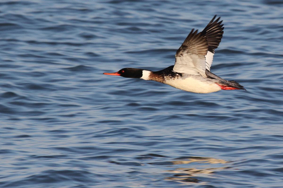 Red-breasted Merganser / 15 Mar / North End Beaches