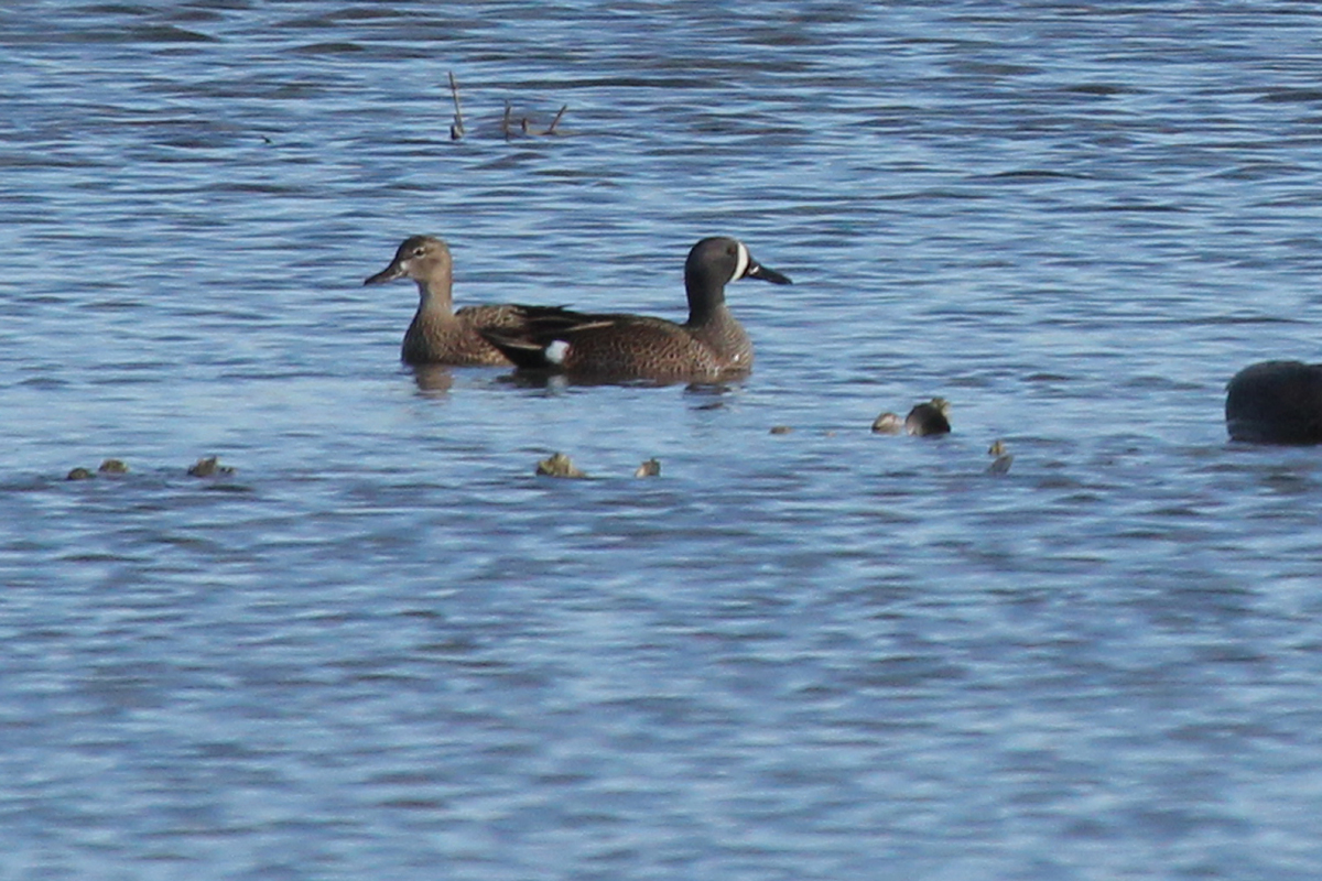 Blue-winged Teal / 22 Mar / Pleasure House Point NA